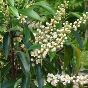 Portugese laurier bloem