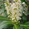 Prunus caucasica leibomen