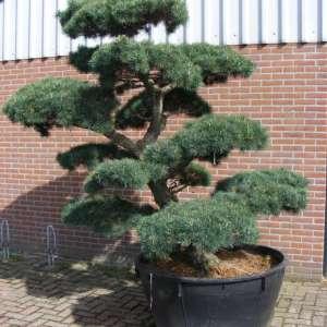 Pinus parviflora gartenbonsai tuinbonsai