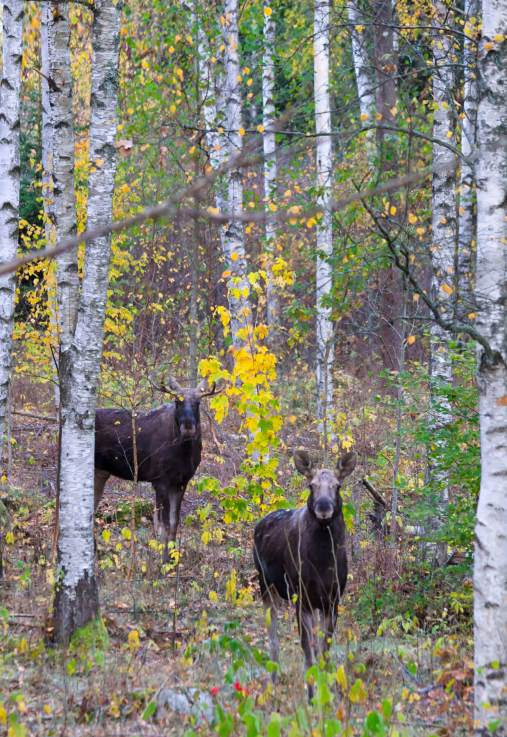 Leica-Hunting-Blog_Chris-Rogers_Sweden_Moose_Shutterstock-klein