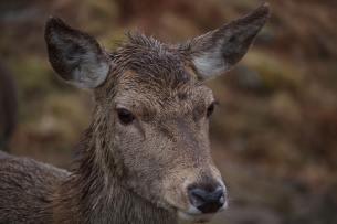Leica-Hunting-Blog_Niall-Rowantree_Red-fawn-in-the-rain-klein