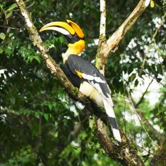 Giant-Hornbill
