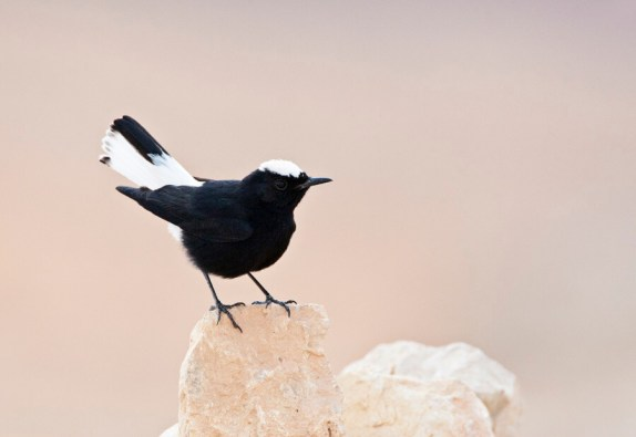 Witkruintapuit zittend op uitkijkpost; White-crowned Wheatear perched on lookout