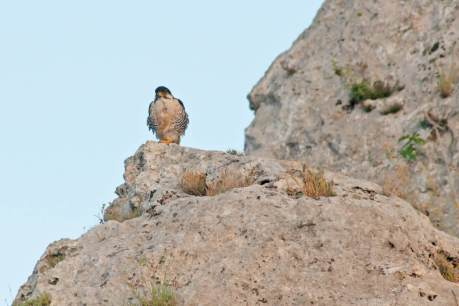 Adult male of European Lanner at its perching site (Photo: Stefania Merlino)
