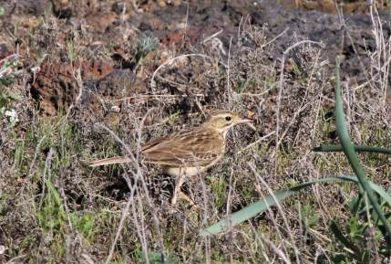 Blyth's Pipit (Anthus godlewskii) juvenile, Linosa island, Sicily, 26th October 2017. A first record for Italy (photo by IGOR MAIORANO)