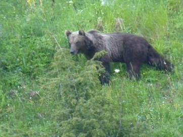 One of the rarest mammal in Italy and Europe, Marsican Brown Bear (Ursus arctos marsicanus), photographed at a very long range at Majella National Park, Abruzzo, digiscoped by using Leica APO Televid and Leica Smartphone adaptor (Andrea Corso)