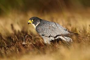 Peregrine-falcon-klein