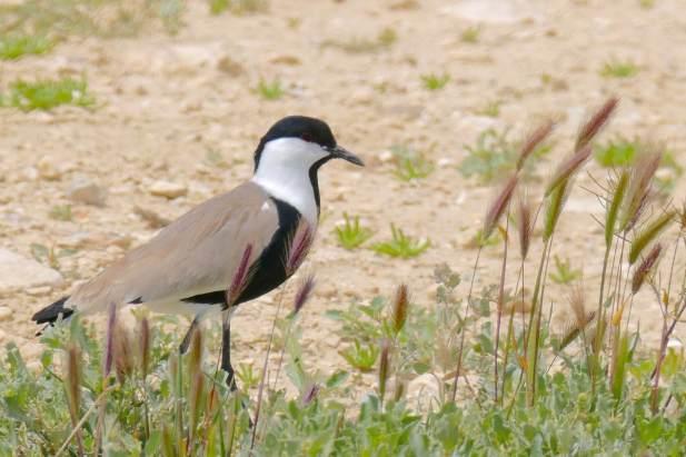 Spur-winged Lapwing @ Yeruham Lake, COTF 2015 Kopie