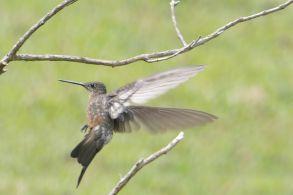 Photo-10-Giant-Hummingbird-klein