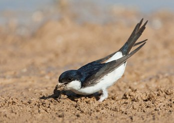 Modder verzamelende Huiszwaluw; Mud collecting Common House Martin (Delichon urbicum)