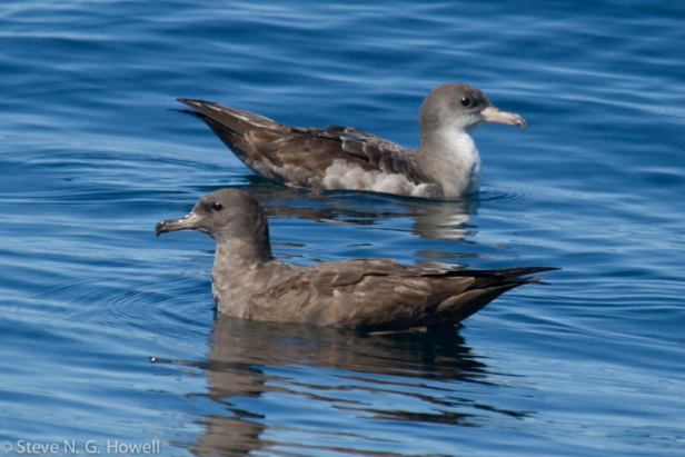 01-dark-and-typical-Pink-footed-Shearwaters-Bodega-Bay-pelagic-CA-108-of-234