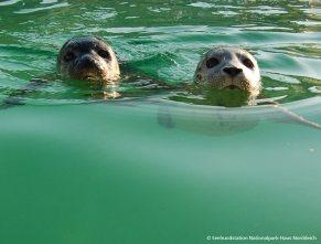 04_Seehunde_Schwimmen