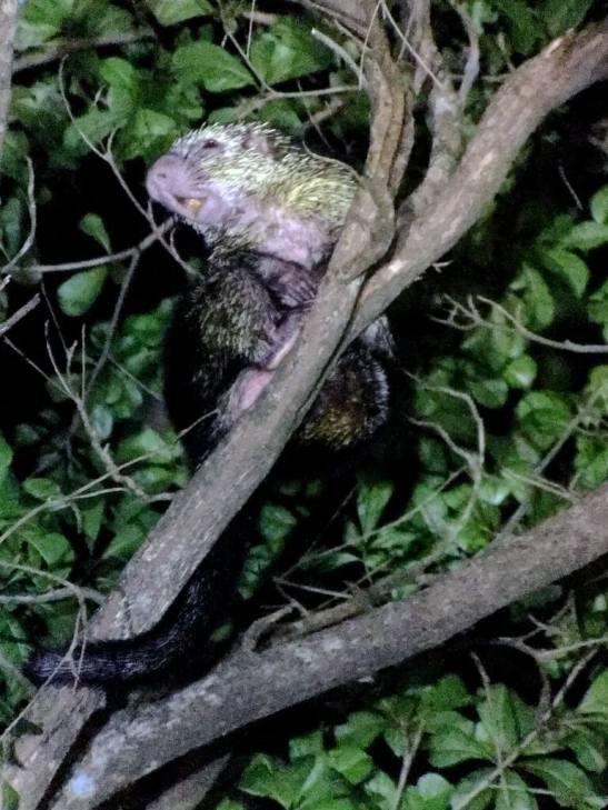 28-Dwarf-Hairy-Porcupine-Mexican-Tree-Porcupine-769x1025-1