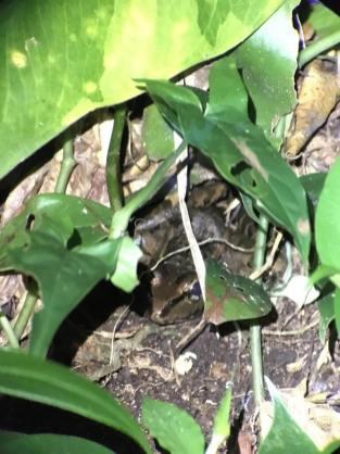 43-Smoky-Jungle-Frog-769x1025-1