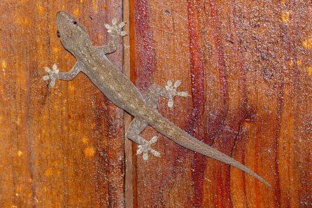 44-Mediterranean-House-Gecko-1025x683