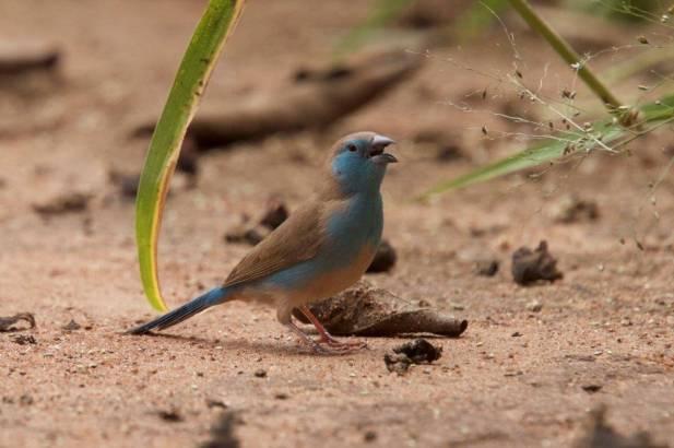 Blauastrild-einer-von-vielen-Prachtfinken