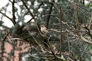 Blog-Leica_Birding_13_Bill_Oddie_Hamsptead_March_2016_female_chaffinch_tree-1025x683