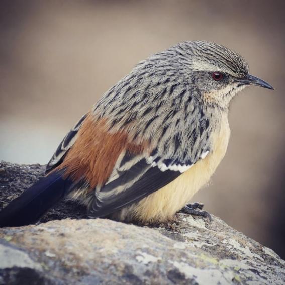 Drakensberg-Rockjumper-1025x10251-1025x1025