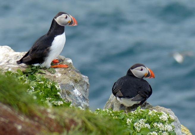 Klein-Puffin-Norway-2016-3