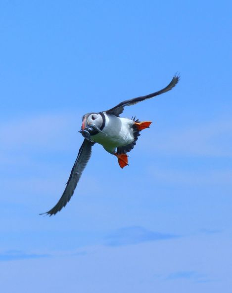 Klein-Puffin-flying-fish-towards