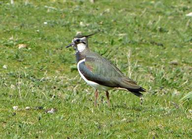 Lapwing-RSPB-Conwy-3