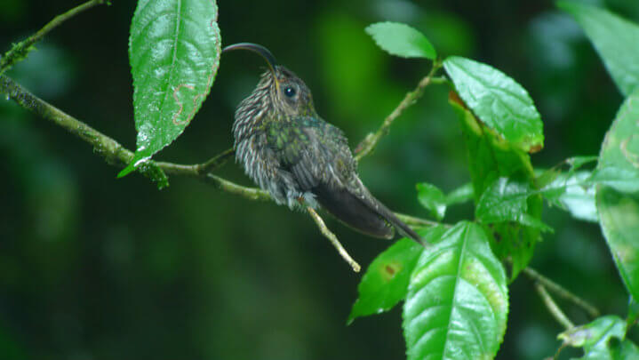 White-tipped-Sicklebill