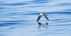 Grote Pijlstormvogel op volle zee op de Azoren; Great Shearwater offshore on the Azores
