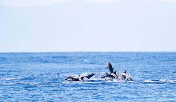 Gestreepte Dolfijnen bij de Azoren; Striped Dolphins (Stenella coeruleoalba) around the Azores