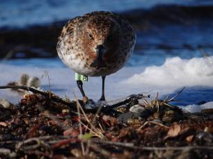 10-Spoon-billed-sandpiper-'Green-8'-returns-to-her-birthplace-to-breed-c-Pavel-Tomkovich-and-Egor-Loktionov