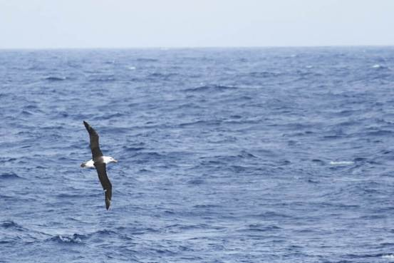 Black-browed-Albatross-1025x684
