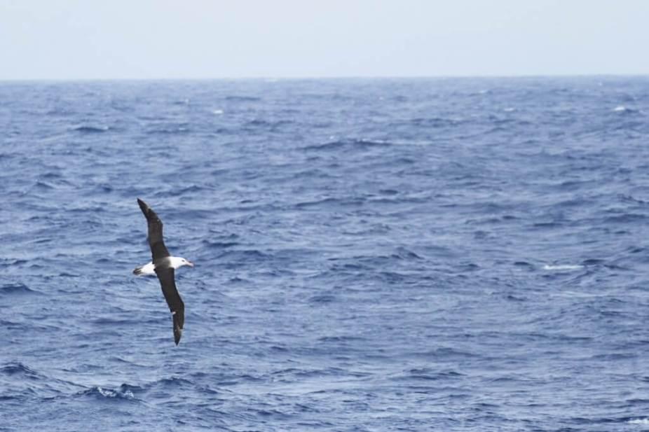 Black-browed-Albatross-1025x684