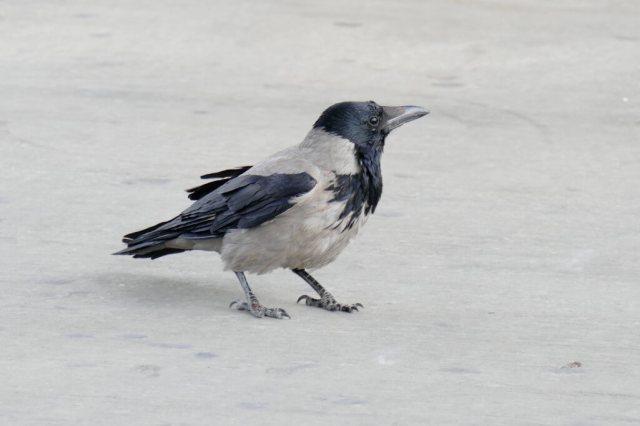 Hooded-Crow-2-1025x683