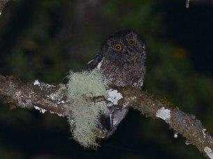 Karthala-Scops-Owl
