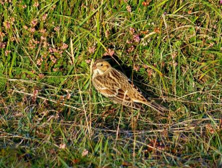 Lapland-Bunting-Great-Orme-280913-2-1025x778