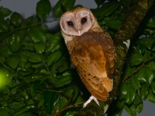 Madagascar-Red-Owl-2