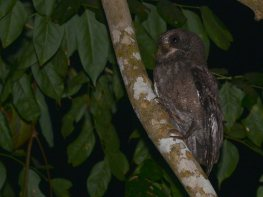 Moheli-Scops-Owl