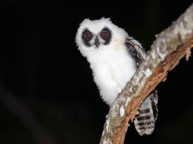 Recently-fledged-Madagascan-Long-eared-Owl
