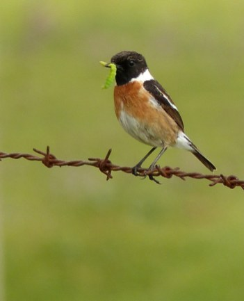 Stonechat-male-March-2015-1-831x1025