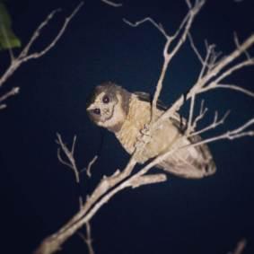 Tawny-browed-Owl