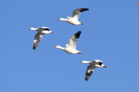White-Geese-Flock-Featured-1025x683