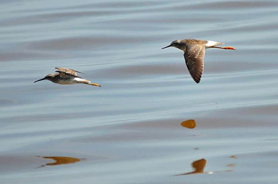 Yellowlegs-and-Stilt-Sandpiper
