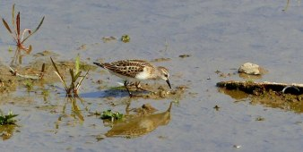 blog-Little-Stint-1025x516