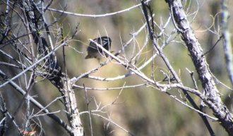 five-striped-sparrow1-1025x601