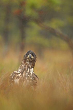 Adler-guckt-hoch