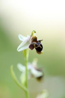 AP6I5824-Ophrys-dodekanensis-edit-klein