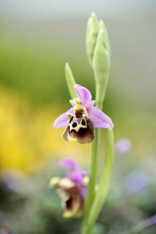AP6I6542-Ophrys-halia-edit--klein