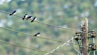 Blue-and-white-Swallow-(David-Lindo)
