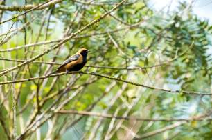 Burnish-buff-Tanager-(David-Lindo)-klein