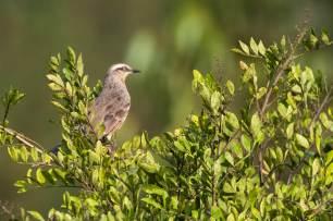 Chalk-browed-Mockingbird-(David-Lindo)-klein