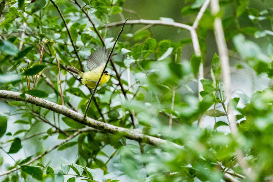 Grey-headed-Tody-Flycatcher-(David-Lindo)-klein